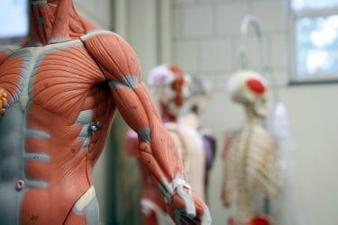Poppen voor de uitleg van de menselijke anatomie